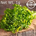 Gaea's Blessing Seeds - Italian Giant Parsley Seeds 500+ Non-GMO Seeds Open-Pollinated High Yield Heirloom Gigante d'Italia