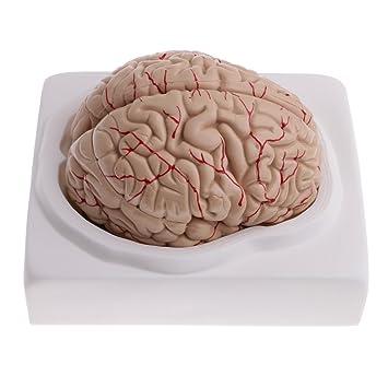 MagiDeal 1: 1 Lebensgröße Abnehmbar 9-teilig Menschliches Gehirn mit ...