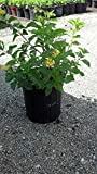 Lantana camara 'Yellow Common' - 1 Gallon Live Plant - 4 pack