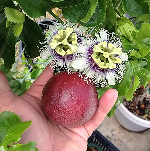 - Cold Hardy 'Red Rover' Passiflora Edulis - Edible Purple Passion Flower Fruit Vine - Live Plant