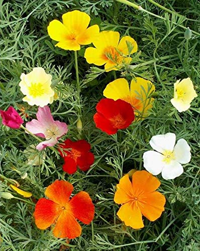 (Premium California Poppy Mix Seeds Vibrant State Flower Colors ST21 (1,000 Seeds))