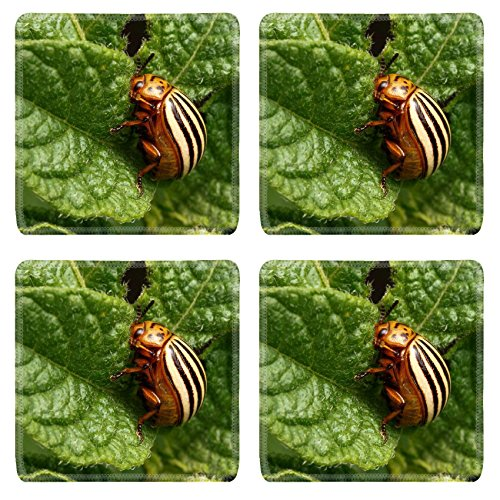 msd-square-coasters-image-34653880-colorado-beetle-devouring-leaves-of-potato