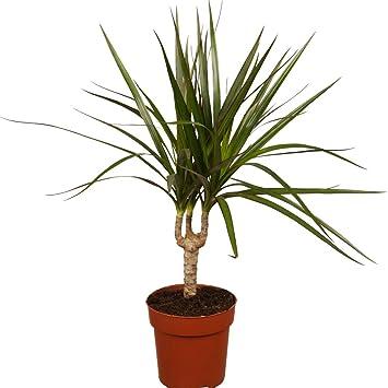 Dominik Blumen Und Pflanzen Ananas Baum Drachenbaum Dracena
