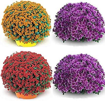 100pcs Rare asters dautomne grain/é fleur jardin plantes vivaces Plantes m/éditerran/éennes pour balcons et terrasses Kisshes Seedhouse