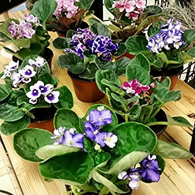 "Two African Violet Plants - Assorted Colors IN BLOOM - 4"" Pots By Jm bamboo"