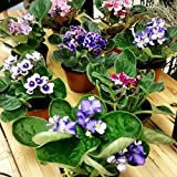 """Two African Violet Plants - Assorted Colors IN BLOOM - 4"""" Pots By Jm bamboo"""