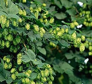 5 PCS El lúpulo (Humulus lupulus), las materias primas de licor de decisiones, hierbas medicinales, resistente, perenne escalada