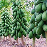 Garden Care Papaya Seeds - Dwarf Variety Huge Production Hybrid Seed-5 Pack Of 50 Seeds Each