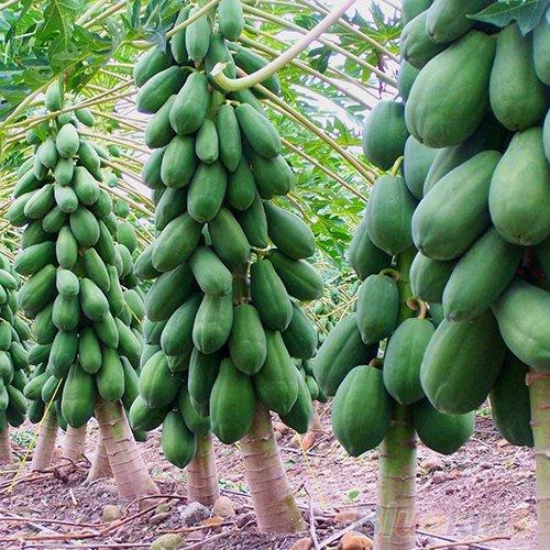 Wintefei 8 Pcs/1 Pack Maradol Papaya Fruit Tree Plants Seeds Organic Home Garden Balcony