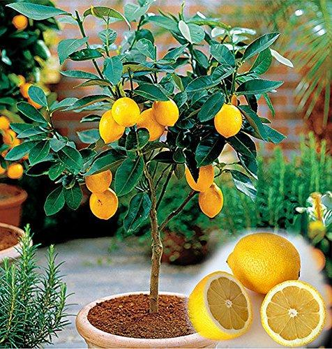 Mini Zitronenbaum Samen - 10 Stück / Pack - Zitrone - Citrus - Bonsai geeignet