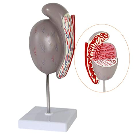 Luckfy Anatomía Humana Científica Modelo De Estructura