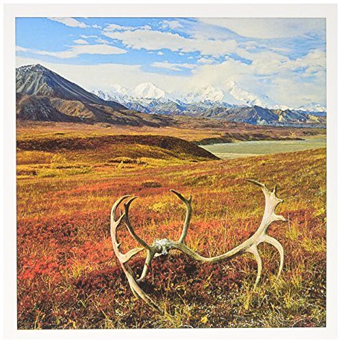 (Caribou antlers on the Alaskan tundra, Denali NP, Alaska- Greeting Card, 6 x 6 inches, single (gc_191066_5))