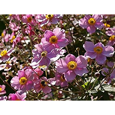 True Source Seeds - Japanese Anemone Pink Perennial Hupehensis Windflower Thimbleflower 30 Seeds : Garden & Outdoor