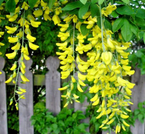 - Golden Chain Tree 68 Seeds Hardy Beautiful Fast Growing to Blooming Small Tree
