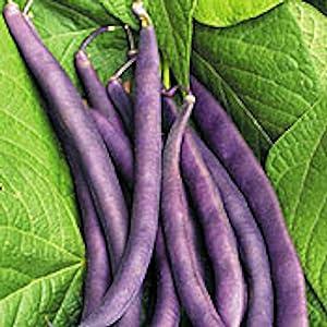 Royal Burgundy Bush Bean Seeds, 30 Heirloom Seeds Per Packet, Non GMO Seeds, Isla's Garden Seeds