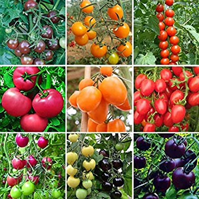 Weardear 100 pcs/Bag Multicolor Tomato Seeds Home Garden Yard Vegetables Plant Vegetables : Garden & Outdoor