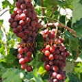 50 pcs grape seeds chinese cheap fruit grape seeds very sweet easy grow fruit seeds for home garden planting