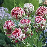 SILKSART 30 Tulip Bulbs early bloom Perennial Bulbs for Garden Planting Beautiful Flower--SHIPPING NOW!!!
