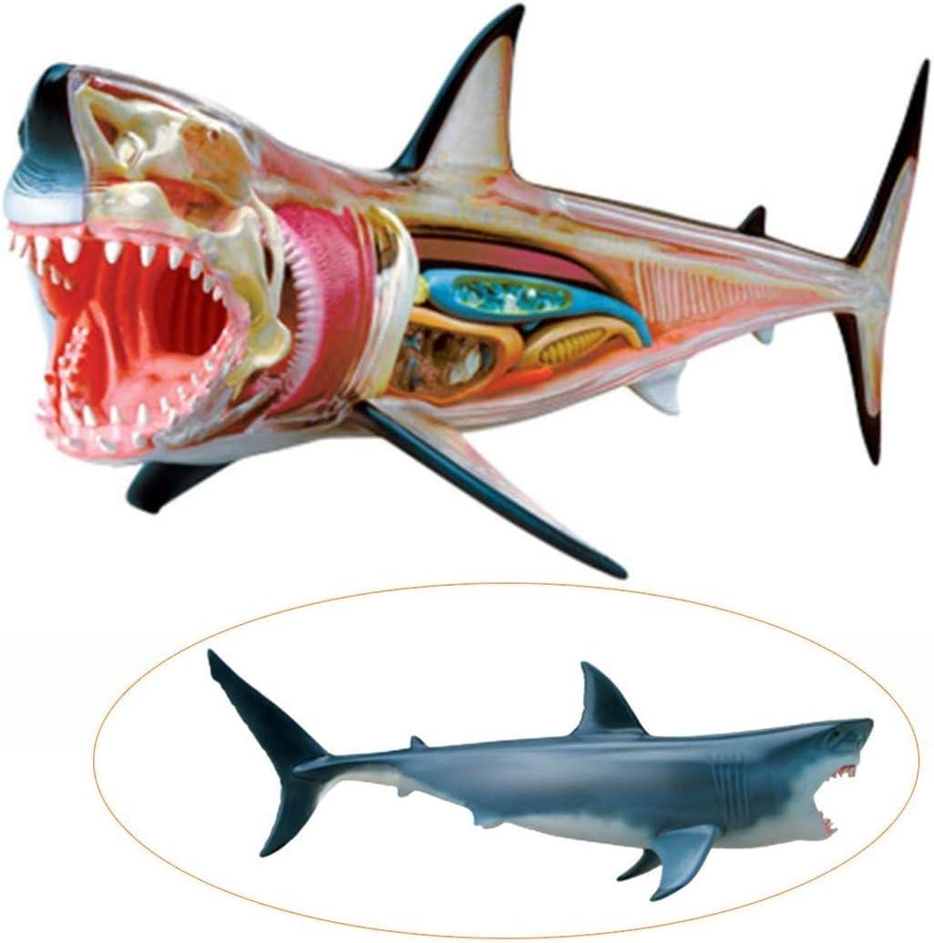 ZYQ Modelo de anatomia del Tiburon: 20 organos y Partes del ...