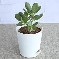 Ugaoo Crassula Ovata Jade Plant (Good Luck Feng Shui Plant)