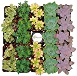Shop Succulents Premium Pastel Succulent (Collection of 32)