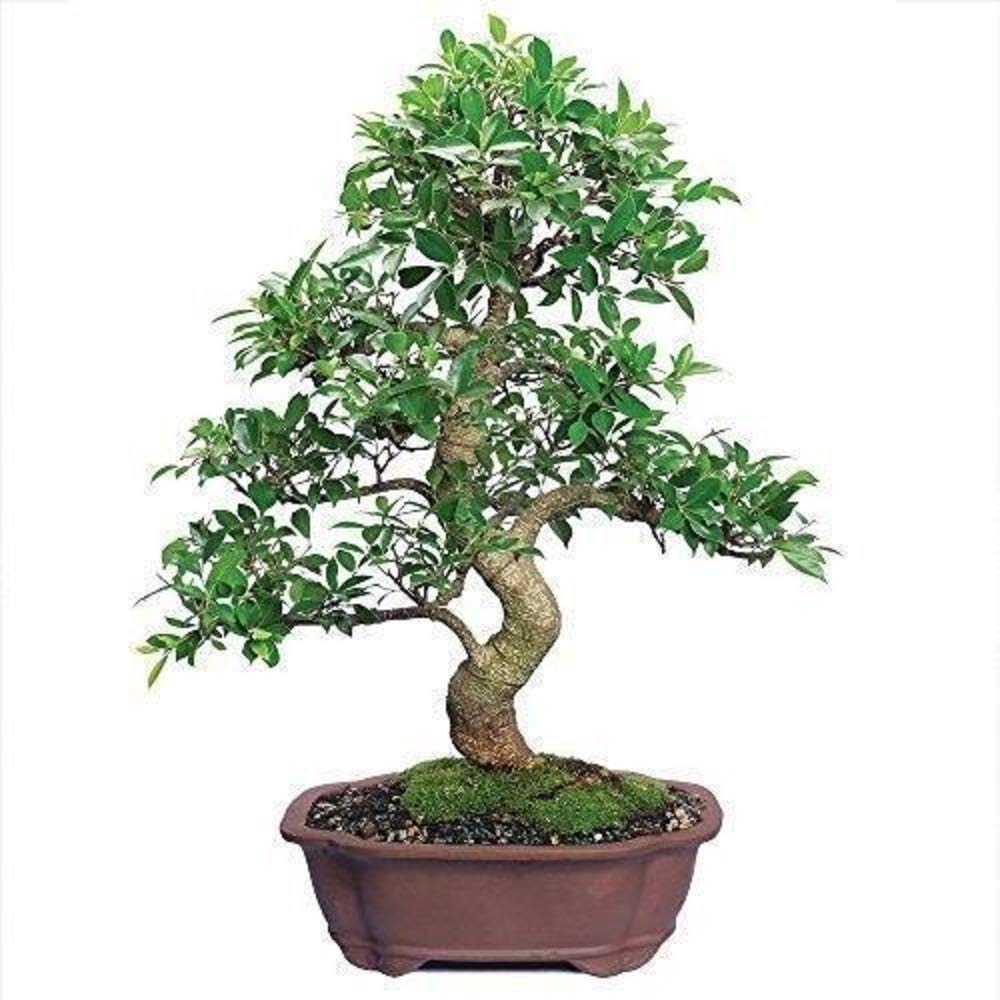 Ficus Bonsai Tree Plant Golden Gate Tropical Indoor Houseplant Best Gift 20 Year Plant A6