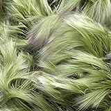 GROSEEDS - Annual Flowers, Decorative Grass - Hordeum Jubatum - FA-DG-04. 110 Seeds Minimum per Packet.