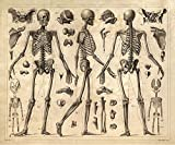 16'' x 20'' Vintage Anatomy Print Human Skeleton Diagram Reproduction Poster