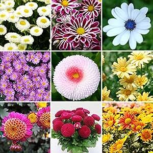 Perennes 400 color de la mezcla las semillas de flor de la margarita Blooms Balcón rápido crecimiento de la decoración del jardín