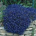 250 Rock Cress, Aubrieta Seeds - Cascade Dark Blue FLOWER SEEDS, PERENNIAL !