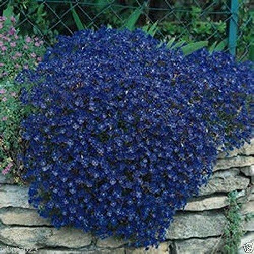 1000 Rock Cress Seeds,, Aubrieta - Cascade Dark Blue ,FLOWER SEEDS, PERENNIAL !