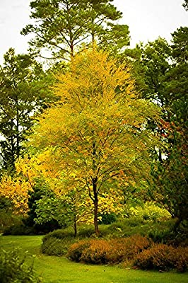 Black Birch Tree Seeds 125 Seeds Upc 646263362624