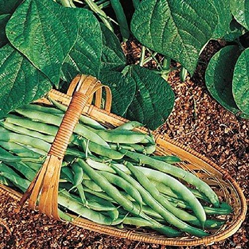 Bean Seeds (Bush) - Kentucky Wonder 125 - 1 Pound, Vegetable Seeds (Kentucky Bush Beans Wonder)