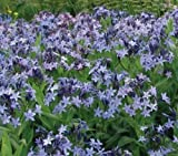Blue Star Perennial 15 Seeds - Amsonia