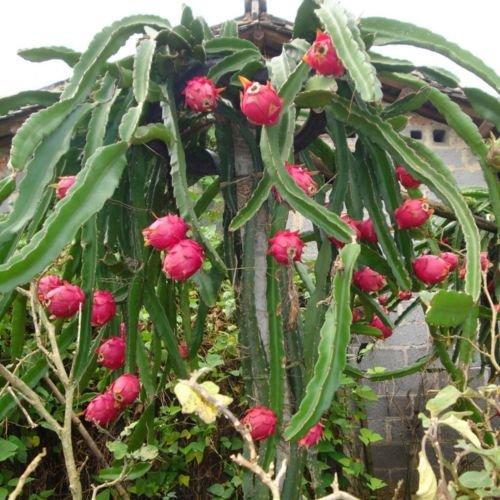 Gozebra(TM) Pitaya Seeds Perennial Plants Fruit Tree Dragon Fruit Seeds for Home Garden New