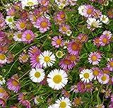 Live Santa Barbara Daisy aka Erigeron karvinskianus Plant Fit 1 Gallon Pot