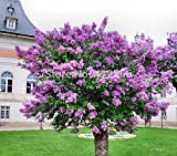 SALE! Original Package Lilac Flower Tree Seeds, 20pcs/bag Perennial Garden Aromatic Plant Seeds