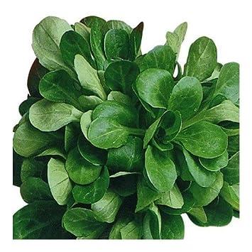 mâche verde de Cambrai 10 gramos