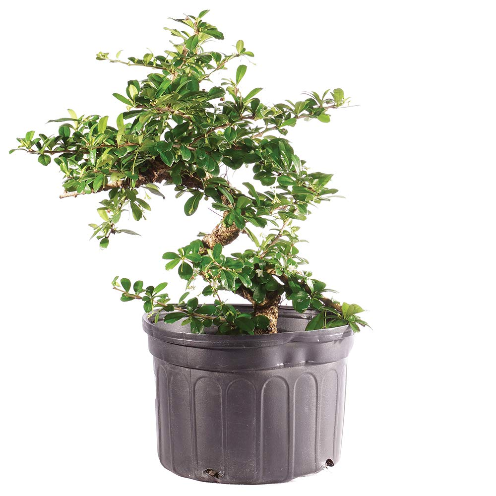 Brussel's Bonsai Live Fukien Tea Indoor Bonsai Tree-12 Years Old 10'' to 14'' Tall with Plastic Grower Pot, Large,
