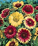 1 Pack of 200 Flower Seeds Single Mix Gaillardia Seeds
