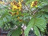 Peltophorum pterocarpum - Yellow Flame Tree - 20 Seeds