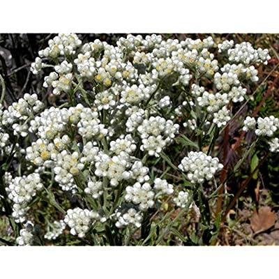 100 White SWEET EVERLASTING Gnaphalium Obtusifolium Butterfly Flower Herb Seeds : Garden & Outdoor