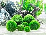 Wholesale Marimo Moss Balls - 100 1.75-2.5'' Large Marimo