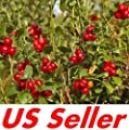 Mountain Cranberry Seeds E115, 50 Seeds, Vaccinium Vitis-Idaea Seeds