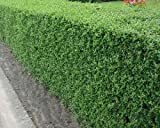 100 Common Privet Seeds, Ligustrum Vulgare, Shrub Seeds