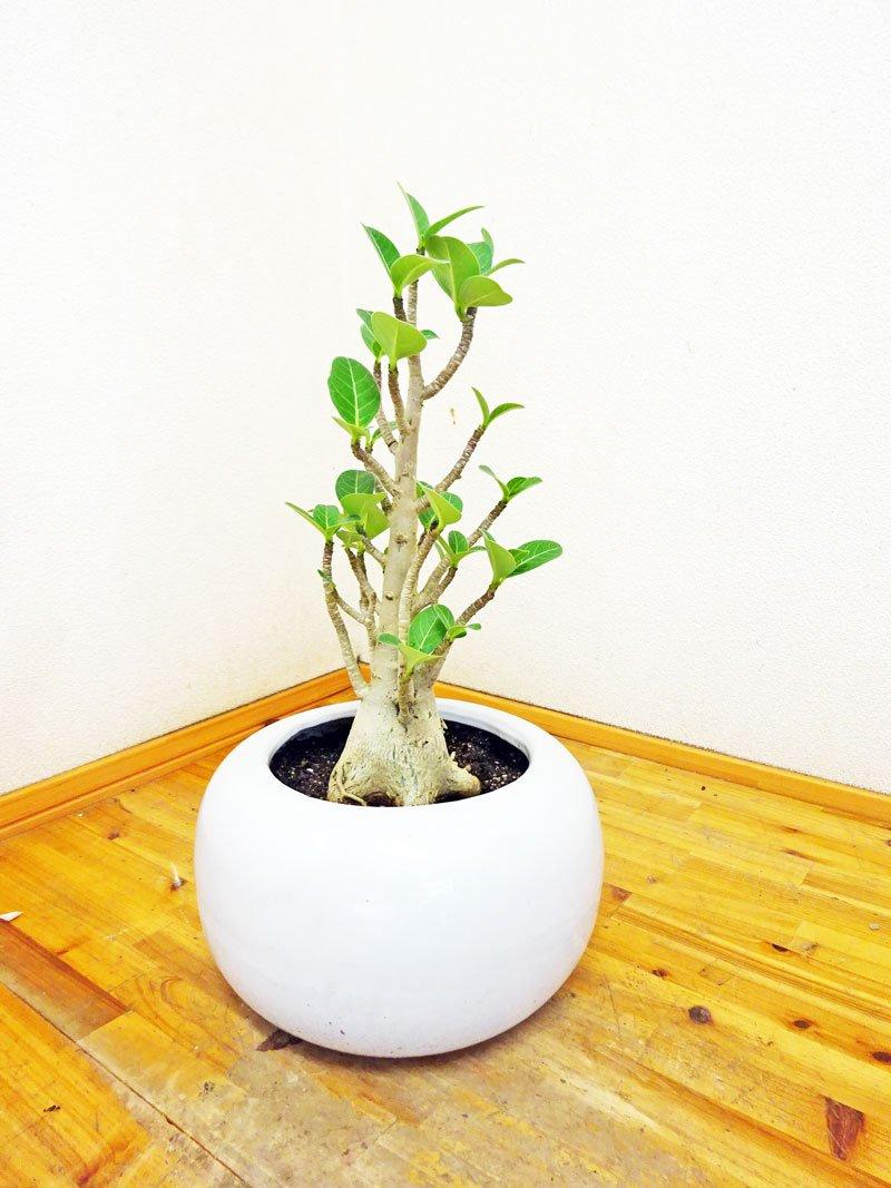 【観葉植物】【モダン】【スタイリッシュ】【お洒落】陶器鉢仕立てのアデニューム(別名砂漠のバラ)40センチ前後(6号)1年に数回花を咲かせます。 B012YY44S8