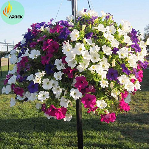 anging Petunia Flower Seeds, Professional Pack, 100+ Seeds ()