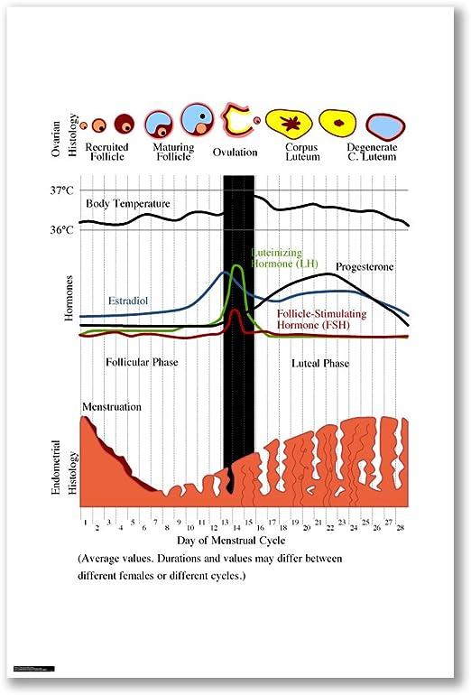 Póster de: ciclo MENSTRUAL de símbolos menstruación ovulación ...