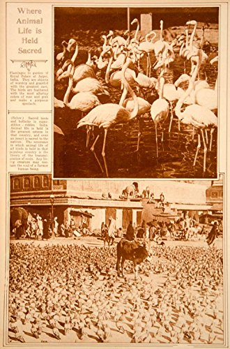1923 Rotogravure Pink Flamingos Birds Cows Sacred Animals India Religion Worship - Original Rotogravure from PeriodPaper LLC-Collectible Original Print Archive