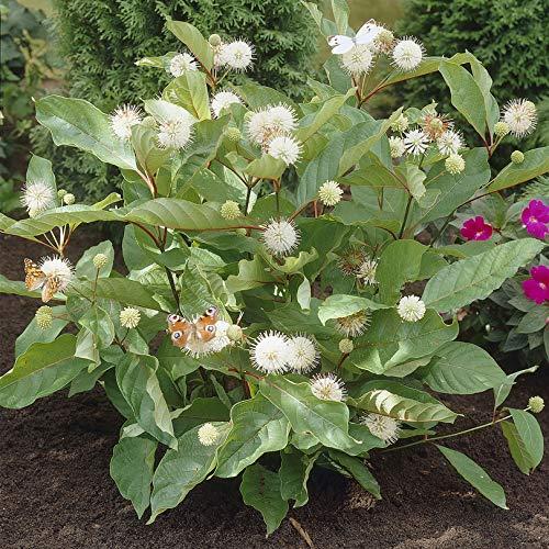 White You Garden Limited Cephalanthus Magical Moonlight Buttonbush Hardy Shrub 3L Plant